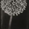 """Michelle Smith-Lewis - """"Portrait of a Leek Flower #2 (Seattle, WA)"""