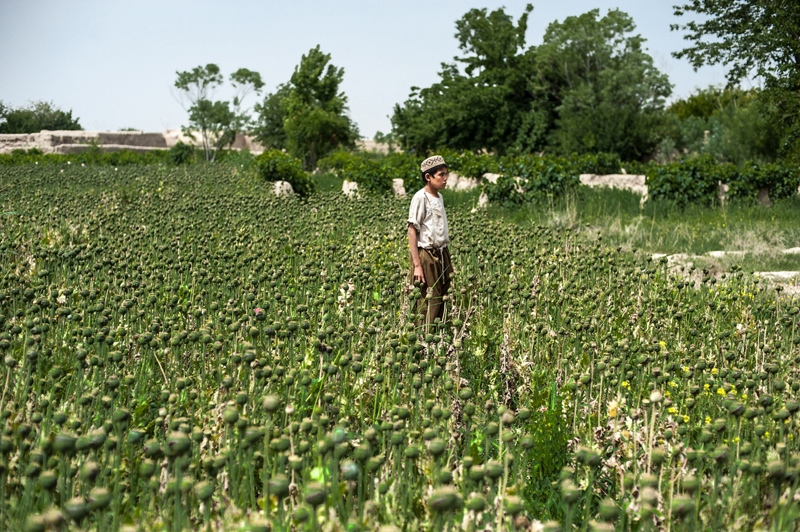 A boy stops harvesting opium from this poppy field in Kandahar's Zhari District to watch patrolling soldiers pass by. Every spring this boy and his family travels from Uruzgan to make money harvesting opium in Kandahar. US soldiers no longer get involved in poppy eradication, as it undermines their primary mission of pacifying the population. Local authorities are tasked with eradication, but they will always look the other way for a bribe. According to the United Nations Office on Drugs and Crime, Afghanistan supplies the raw materials for 90 percent of the world's heroin.